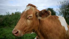 Standing cow`s head side view stock footage