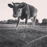 Standing cow Royalty Free Stock Images