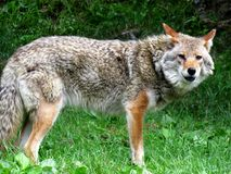 Standing coyote near the wood. Barking royalty free stock photo