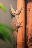 Standing day gecko Royalty Free Stock Image