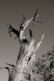 Standing Dead Tree. A black and white closeup of a standing dead tree in the desert set against a clear sky stock images