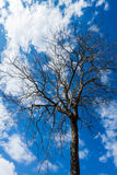 Standing Dead Tree with Blue Sky , Thailand Stock Photos