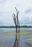 Standing dead trees that died in river. Royalty Free Stock Photo