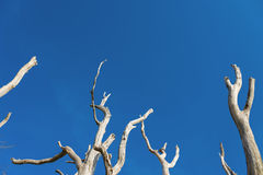 Standing deadwood on the Battertrocks in Baden-Baden, Black Fore Royalty Free Stock Image