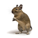 Standing degu Royalty Free Stock Photo