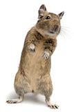 Standing degu Royalty Free Stock Photos