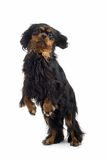 Standing dog Stock Photography