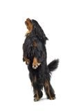 Standing dog Royalty Free Stock Photo