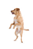 Standing Dog Stock Photo