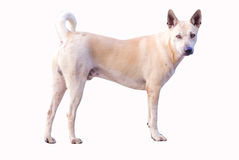 Standing dog. Isolate yellow white dog that standing and looking to us royalty free stock images
