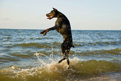 Standing dog in water royalty free stock photos
