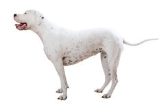 Standing dogo Argentino stock photos