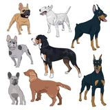 Standing dogs collection isolated on white background. Purebred canines set for your design. Bulldog, doberman, spaniel, bull terrier and swiss mountain dog Royalty Free Stock Photos