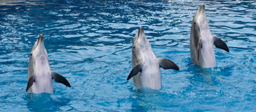 Standing dolphins. Dolphins standing at their fins in the pool stock photo