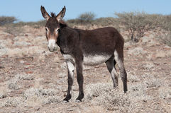 Standing donkey. Near a village in Namibia Royalty Free Stock Photo