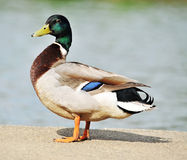Standing duck Stock Photo