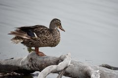 Standing duck Royalty Free Stock Photos