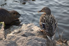 Standing duck on shore Royalty Free Stock Photography