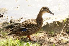 A standing duck in the sun - France. A standing duck in the sun, in front of a lake. It is in France, to Elancourt in the department of Yvelines. The lake is in Royalty Free Stock Photo
