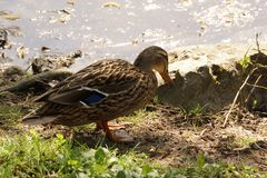 A standing duck in the sun - Front view - France. A standing duck in the sun, in front of a lake. It is in France, to Elancourt in the department of Yvelines Royalty Free Stock Images