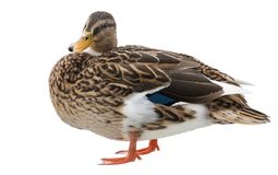 Standing duck on white royalty free stock photography