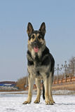 Standing east shepherd dog Royalty Free Stock Images