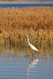 The standing egret Royalty Free Stock Photography