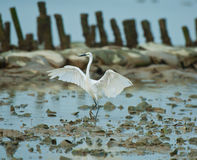 Standing egret Royalty Free Stock Images