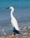 Standing Egret by the Sea Stock Images