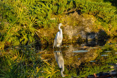 Standing egret Stock Photography