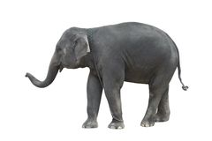 Standing elephant Royalty Free Stock Image