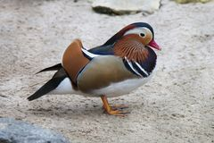 Standing exotic colorful bird. Red beak. Mandarin duck. Aix galericulata. Standing exotic colorful bird. Red beak. Mandarin duck. Aix galericulata stock images