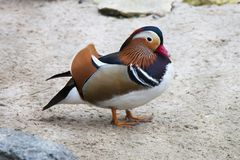 Standing exotic colorful bird. Red beak. Mandarin duck. Aix galericulata. Standing exotic colorful bird. Red beak. Mandarin duck. Aix galericulata Stock Photography