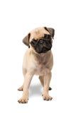 standing för hundmopsvalp Arkivbilder