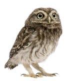 standing för owl 50 athenedagar för liten noctua gammal Arkivbild