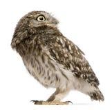standing för owl 50 athenedagar för liten noctua gammal Royaltyfri Bild