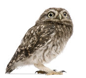 standing för owl 50 athenedagar för liten noctua gammal Royaltyfri Foto
