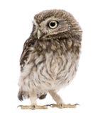 standing för owl 50 athenedagar för liten noctua gammal Royaltyfri Fotografi