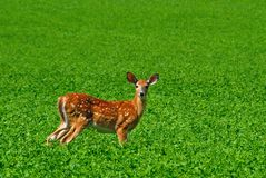 Standing Fawn Royalty Free Stock Photography