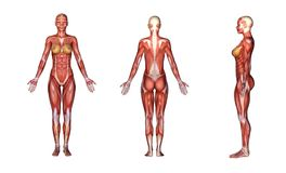 3D render :female body illustration with muscle tissues texture. Standing female body illustrations with muscular tissues texture on her body, display with front Royalty Free Stock Image