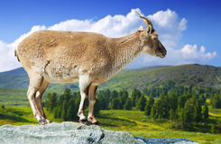 Standing female muflon on rock Stock Image
