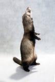 Standing ferret Royalty Free Stock Photos