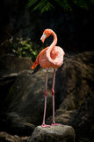 Standing Flamingo. Shoot, with large boulders as background Royalty Free Stock Image