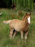 Standing Foal Stock Photography