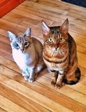 Standing foes. Cats frendly waiting Royalty Free Stock Photography