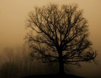 Standing in fog. Mighty oak on a foggy morning Royalty Free Stock Image
