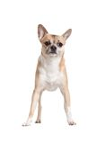Standing on four paws chihuahua doggy Royalty Free Stock Photo