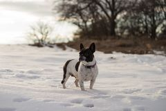 Standing french bulldog in a snowy field stock photos