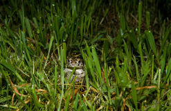 Standing frog Royalty Free Stock Image