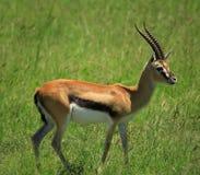 Standing gazelle Stock Image